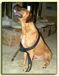 picture of ridgeback wearing Morgan's black belt