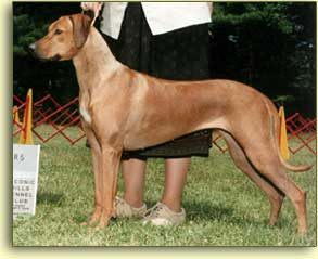 Rouxridge Celtic Matrix in the show ring