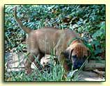 "Rhodesian Ridgeback pup ""Billy"" at 5 weeks"