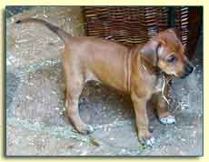 "Rhodesian Ridgeback pup ""Dixie"" at 5 weeks"