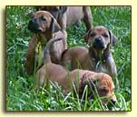 "Rhodesian Ridgeback pups - ""Georgia,"" ""Dixie."" and ""Ulysses"""