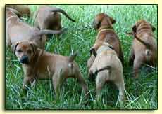 Rhodesian Ridgeback pups, 5 weeks old, in field