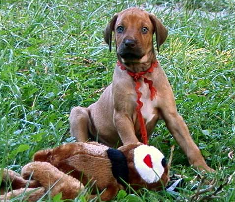 "Rhodesian Ridgeback livernose puppy ""Fawn"" with toy"
